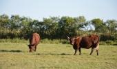 Býci z Camarque