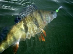 GIGANTICKÝ OKOUN: Rybář chytil okouna o délce 52 centimetrů a váze 2,98 kilogramů! Máme foto!