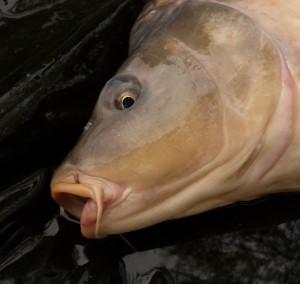 OBROVSKÝ KAPR! Na českém soukromáku chytili šupináče o váze 25,20 kilogramů! Parádní ryba!