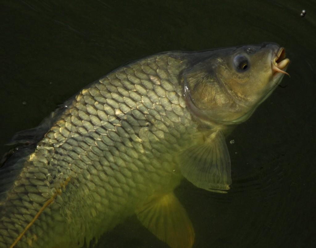 kapr-supinac