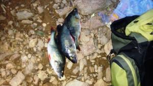 ryby-pytlaci