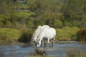 Koně z Canarque (2)