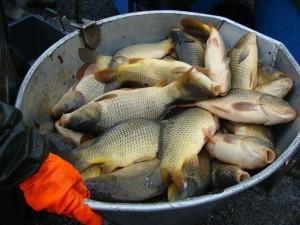 Kam na ryby? Kapři, líni nebo amuři! Jarní vysazování ryb je v plném proudu!