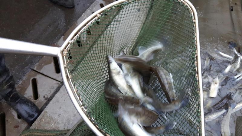 AKTUÁLNĚ: Nové ryby! Do Orlíku se vysazují kapři, amuři nebo candáti!